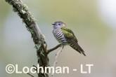 Chrysococcyx lucidus -Shining Bronze Cuckoo CBD-974 ©Rob Drummond - Lochman LT