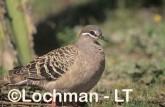 Common Bronzewing Pigeon SAY-853 ©Jiri Lochman - Lochman LT
