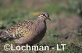 Common Bronzewing Pigeon SAY-854 ©Jiri Lochman - Lochman LT