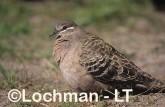Common Bronzewing Pigeon SAY-858 ©Jiri Lochman - Lochman LT