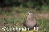 Common Bronzewing Pigeon SAY-865 ©Jiri Lochman - Lochman LT