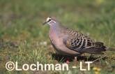 Common Bronzewing Pigeon -male SAY-540 ©Jiri Lochman - Lochman LT