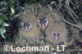 Grass Owl HJY-724 ©Hans & Judy Beste - Lochman LT