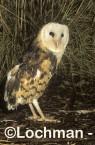 Grass Owl ZMY-977 ©Jiri Lochman - Lochman LT