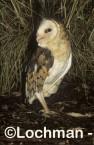 Grass Owl ZMY-980 ©Jiri Lochman - Lochman LT
