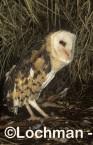 Grass Owl ZMY-983 ©Jiri Lochman - Lochman LT