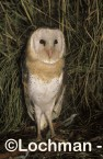 Grass Owl ZNY-002 ©Jiri Lochman - Lochman LT
