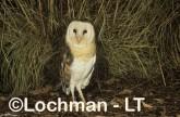 Grass Owl ZNY-007 ©Jiri Lochman - Lochman LT