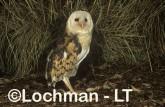 Grass Owl ZNY-008 ©Jiri Lochman - Lochman LT