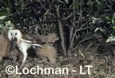 Grass Owl with rat HCY-470 ©Hans & Judy Beste- Lochman LT