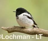 Hooded Robin LLH-039 © Lochman Transparencies