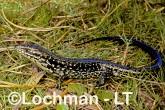 Lissolepis luctuosa - Glossy Swamp Skink GHD-102 ©Greg Harold - Lochman LT