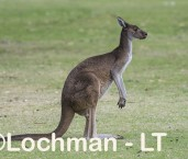 Macropus fuliginosus - Western Grey Kangaroo LLS-802  ©Jiri Lochman - Lochman LT