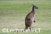 Macropus fuliginosus - Western Grey Kangaroo LLS-803  ©Jiri Lochman - Lochman LT