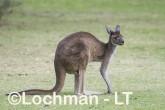 Macropus fuliginosus - Western Grey Kangaroo LLS-804  ©Jiri Lochman - Lochman LT