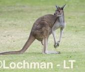 Macropus fuliginosus - Western Grey Kangaroo LLS-805  ©Jiri Lochman - Lochman LT