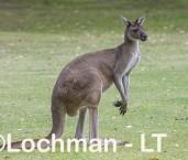 Macropus fuliginosus - Western Grey Kangaroo LLS-807  ©Jiri Lochman - Lochman LT