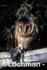 TASMANIAN MASKED OWLTyto novaehollandiaePhotographed in Tasmania