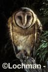 TASMANIAN MASKED OWLTyto novaehollandiaeThe world's largest barn owl