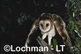 Tasmanian Masked OwlTyto novaehollaniaePhotographed in Tasmania, Australia