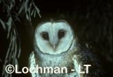 Masked Owl XXY-310b ©Jiri Lochman - Lochman LT