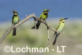 Merops ornatus - Rainbow Bee-eater BED-092 ©Bill Belson - Lochman LT