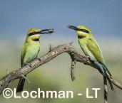 Merops ornatus - Rainbow Bee-eater BED-097 ©Bill Belson - Lochman LT