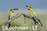 Merops ornatus - Rainbow Bee-eater BED-098 ©Bill Belson - Lochman LT