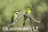 Merops ornatus - Rainbow Bee-eater BED-099 ©Bill Belson - Lochman LT