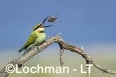 Merops ornatus - Rainbow Bee-eater BED-100 ©Bill Belson - Lochman LT