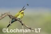 Merops ornatus - Rainbow Bee-eater BED-101 ©Bill Belson - Lochman LT