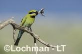Merops ornatus - Rainbow Bee-eater BED-104 ©Bill Belson - Lochman LT