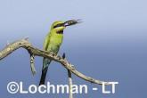 Merops ornatus - Rainbow Bee-eater BED-105 ©Bill Belson - Lochman LT
