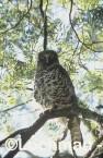 Ninox strenua Powerful Owl CAY-118 ©Rob Drummond- Lochman LT