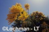 Nuytsia floribunda Christmas Tree OOY-152 ©Jiri Lochman - Lochman LT