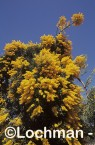 Nuytsia floribunda Christmas Tree OOY-512 ©Jiri Lochman LT