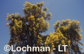 Nuytsia floribunda Christmas Tree OOY-514 ©Jiri Lochman - Lochman LT