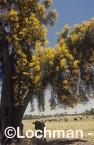 Nuytsia floribunda Christmas Tree OOY-517 ©Jiri Lochman - Lochman LT