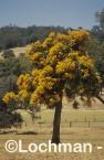 Nuytsia floribunda Christmas Tree OOY-670 ©Jiri Lochman - Lochman LT