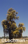 Nuytsia floribunda Christmas Tree OOY-739 ©Jiri Lochman - Lochman LT