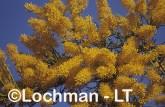 Nuytsia floribunda Christmas Tree RBY-327 ©Jiri Lochman - Lochman LT