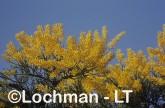 Nuytsia floribunda Christmas Tree RBY-333 ©Jiri Lochman - Lochman LT