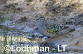 Phaps chalcoptera - Common Bronzewing CAD-285 ©Rob Drummond - Lochman LT