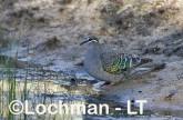 Phaps chalcoptera - Common Bronzewing CAD-285 ©Rob Drummond - Lochman LT