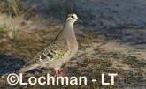 Phaps chalcoptera - Common Bronzewing CAD-287 ©Rob Drummond - Lochman LT
