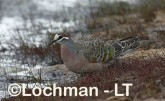 Phaps chalcoptera - Common Bronzewing CAD-289 ©Rob Drummond - Lochman LT