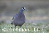 Phaps chalcoptera - Common Bronzewing CCD-002 ©Rob Drummond - Lochman LT