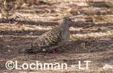 Phaps chalcoptera - Common Bronzewing LLS-764 ©Jiri Lochman LT