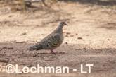 Phaps chalcoptera - Common Bronzewing LLS-766 ©Jiri Lochman LT