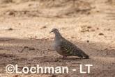 Phaps chalcoptera - Common Bronzewing LLS-767 ©Jiri Lochman LT